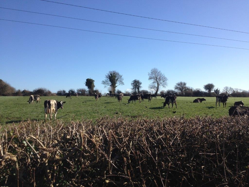 Cows grazing Kerry Limerick region