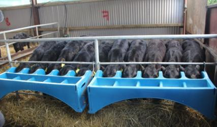 Calves drinking from feeder Dairy Beef