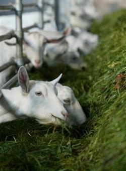 Goats - Teagasc | Agriculture and Food Development Authority