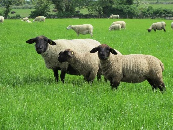 Carbon dating sheep