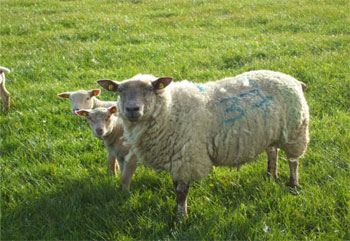 Sheep-Research-Farm-1