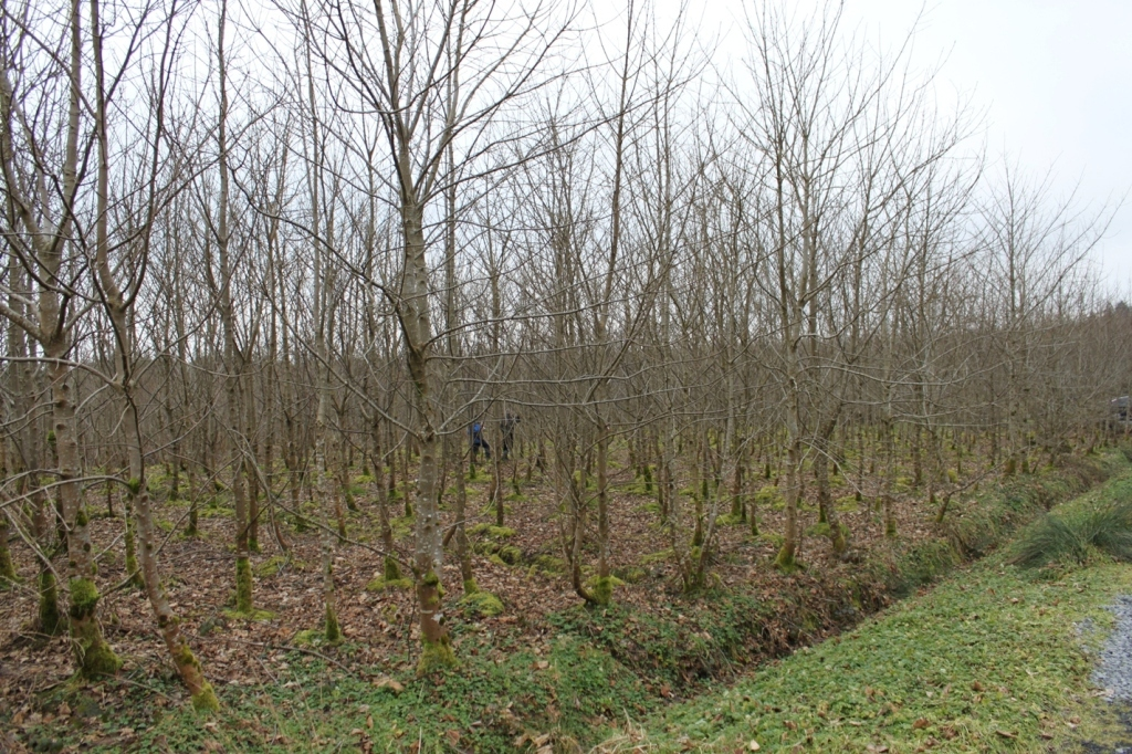 Resultant singled coppice shoots 4 growing seasons after systematic thinning of poorly performing pole-stage sycamore