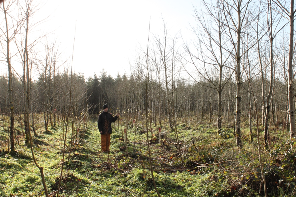 Figure 4. Sycamore remedial silviculture trial after 3 growing seasons. Jan 2014.