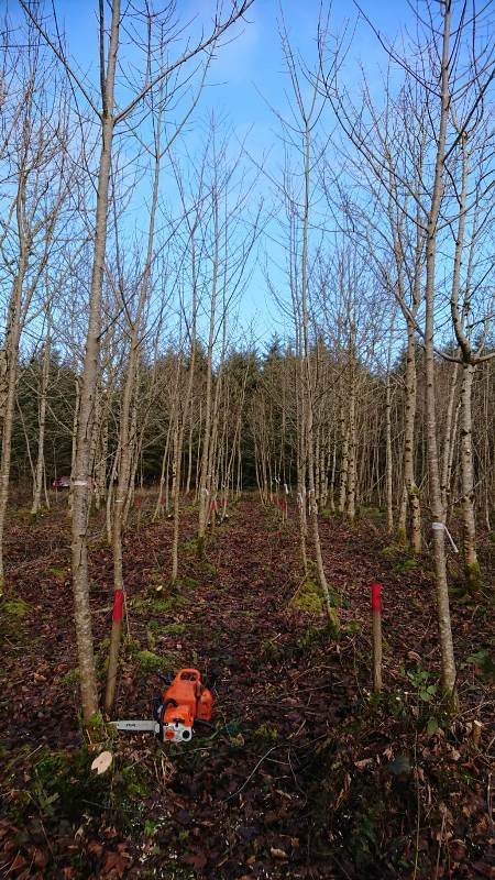 Figure 6. Sycamore remedial silviculture trial 9 growing seasons after intervention. All coppice stump sprout clumps have now been singled to one sprout per stump. Jan 2020.