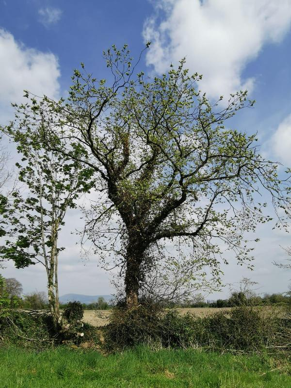 Healthy elm tree (Image: Michael Osborne, Rathvilly, Co Carlow)