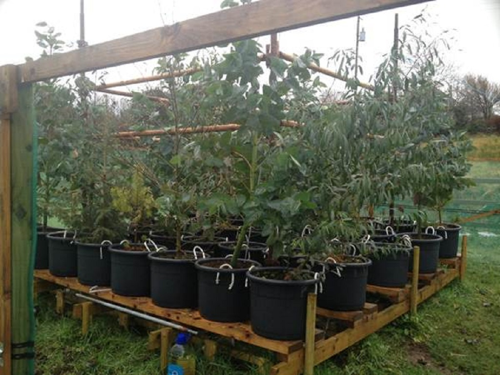 Microcosm experiment to study nutrient and hydrological demands of Eucalyptus nitens, Eucalyptus rodwayii, Alnus cordata, Picea sitchensis and Pinus contorta (courtesy: Mark O'Connor)
