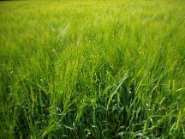 Soil-Barley-Field