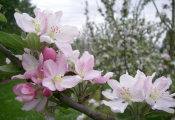 Apple blossom, Kildalton's orchards are a great sight in May