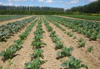 Kildalton has a wide range of field grown vegetables including a number of varieties of cabbage