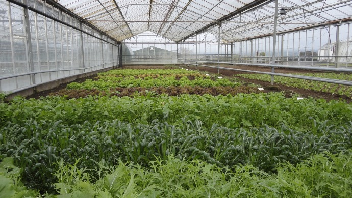 Protected Crops in Glasshouse