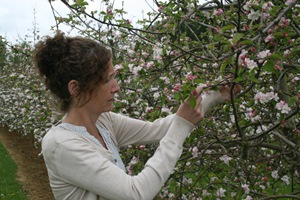Examining Fruit tree blossoms