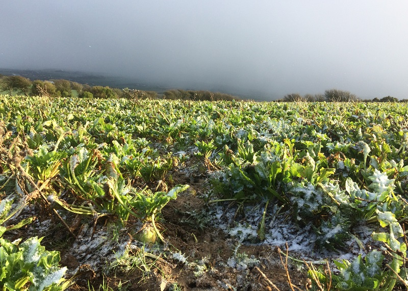 Landscape showing fodder beet: plays an important role with grass silage for feeding cows over the winter.