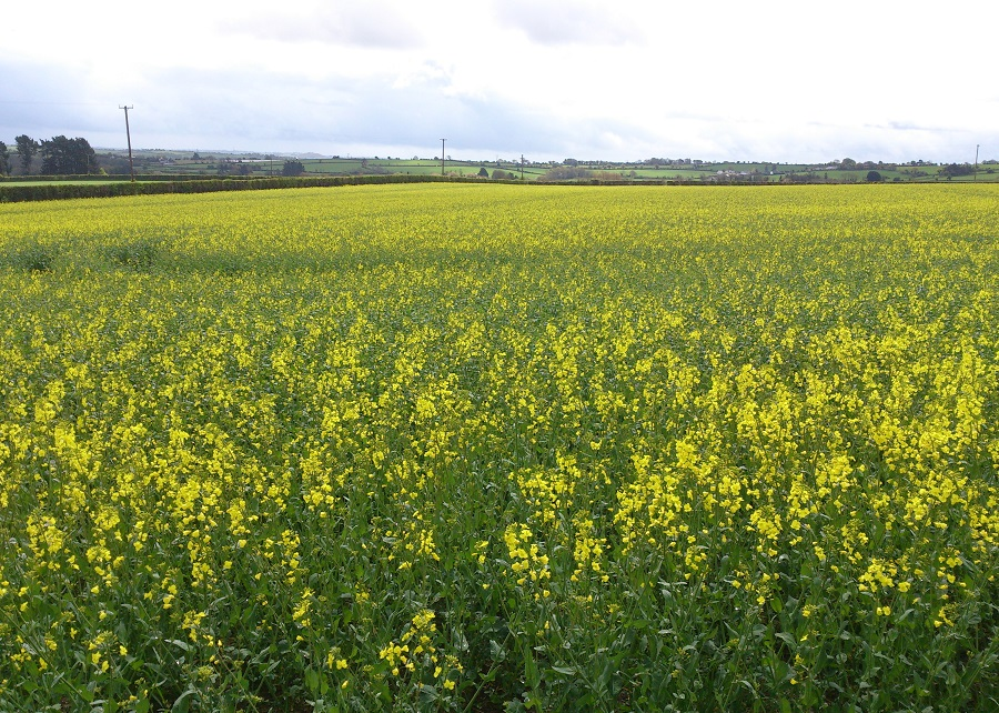 Landscape of oil seed rape:  an important break crop on farms in the ACP catchment.
