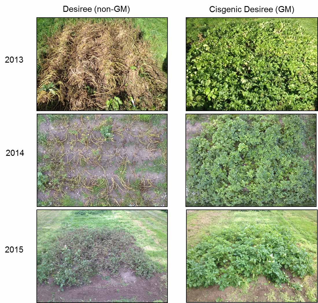 GM Potato Environmental Trial Results Published