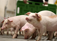 Teagasc Pig Research Impacts and Highlights from Strategy 2015 - 2020