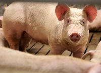 Pig Farming Options and Opportunities for Reinvestment