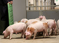 Teagasc Pig Research Farm update – 2020 Year in review