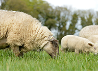 Sheep Census 2020 deadline fast approaching