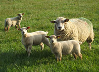 How to avoid meal feeding ewes after lambing