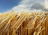 Crop Production Cycle - Winter Barley