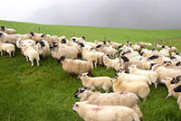 The Hill Sheep Sector in Ireland